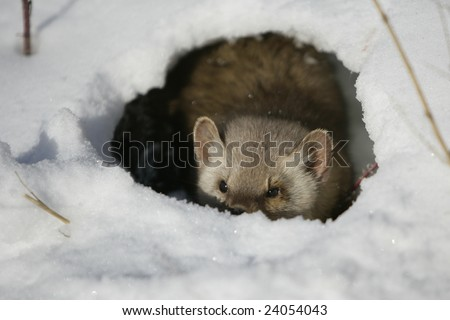 Pine Martin Hiding in Hole - stock photo