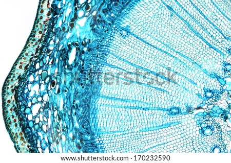 Pine mature wood, cross section - microscopic view - stock photo