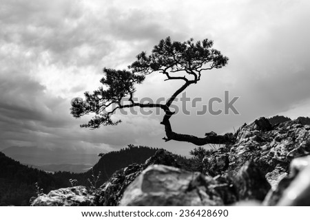 pine, most famous tree in Pieniny Mountains, Poland, black and white photo - stock photo