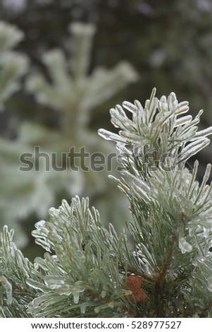 Pine needles with icicles after freezing rain. Nature encased in ice after a storm. Winter background