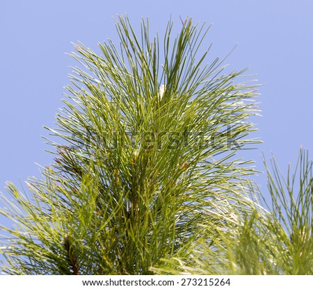 pine on nature - stock photo
