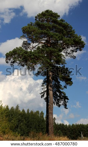 Pine on the hill