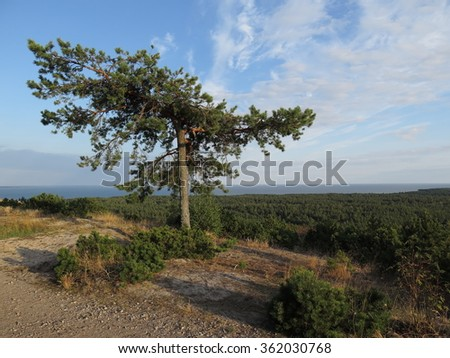 Pine on the sand dune with green forest and sea in the background