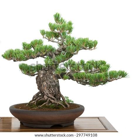 Pine (Pinus parviflora) from Japan as old bonsai tree - stock photo
