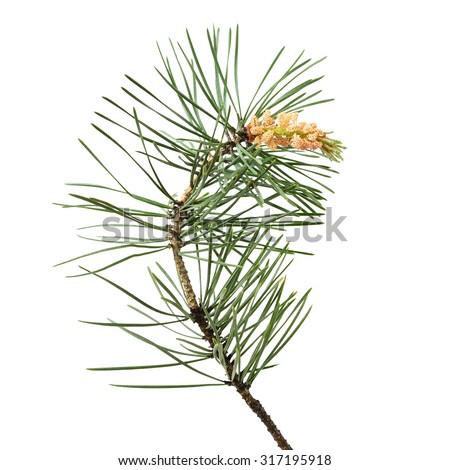 Pine (Pinus sylvestris) branch isolated on white background - stock photo