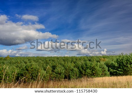 pine plantation and sky - autumn landscape