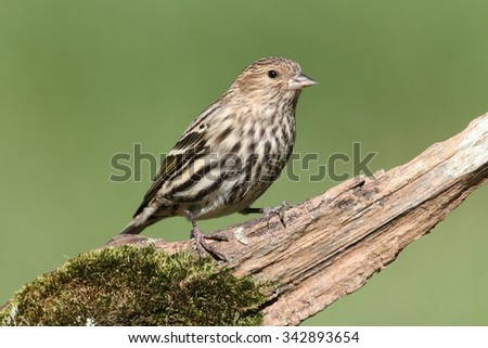 Pine Siskin (Carduelis pinus) perched on a pine branch with moss - stock photo