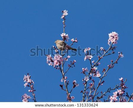 Pine siskin, Carduelis pinus, sitting on a cherry tree branch - stock photo