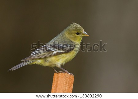Pine Siskin (Carduelis pinus).  The Pine Siskin is a North American bird in the finch family. - stock photo