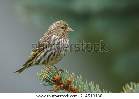 Pine Siskin perched on a pine tree - stock photo