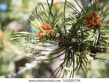 pine sprig - stock photo