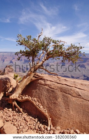 Pine struggling to survive in the Grand Canyon, USA
