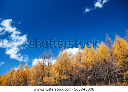 pine tree and blue sky in autumn, Jilin Province, China - stock photo