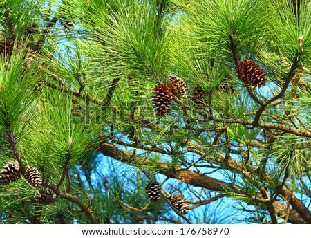 Pine tree and pine cone - stock photo