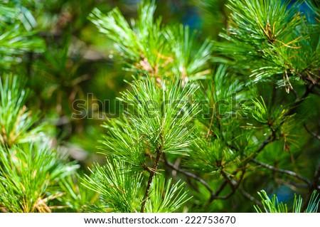 pine tree branch - stock photo