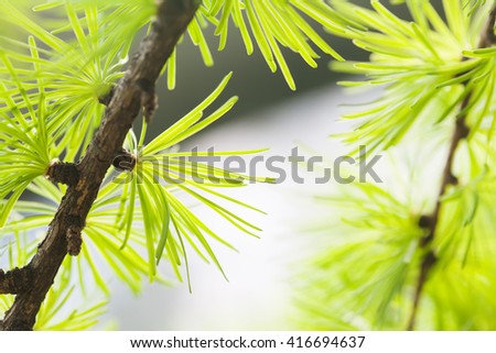 Pine tree branch close-up. Forest tree macro view. soft focus. Spring time season concept.