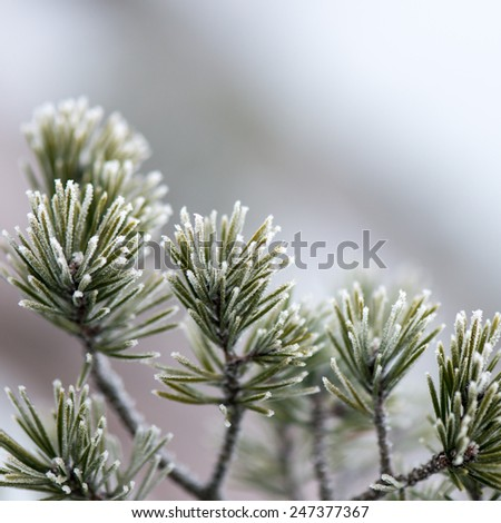 pine tree branch closeup with blur background in frosty winter morning