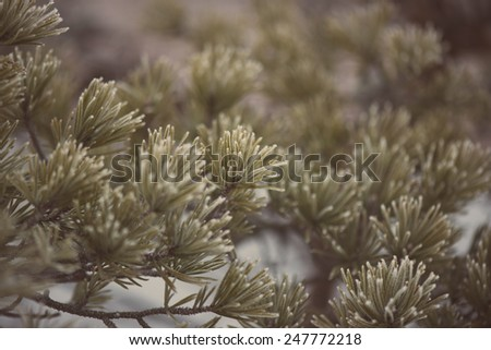 pine tree branch closeup with blur background in frosty winter morning - aged photo effect, vintage retro - stock photo