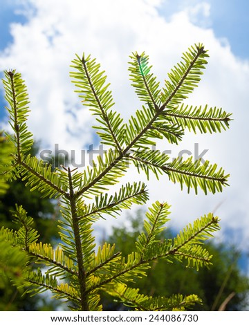 pine tree branch fresh in summer under the sky - stock photo
