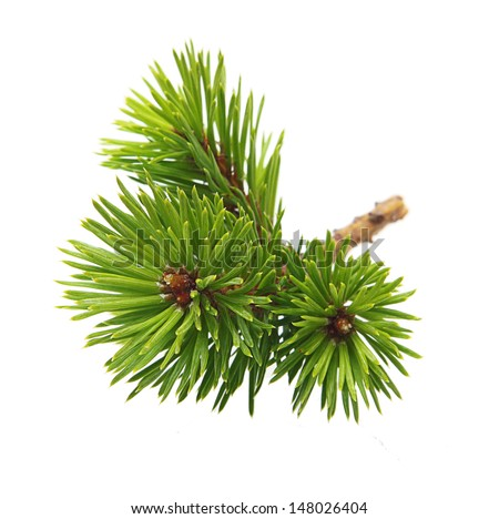 Pine tree branch isolated on white. - stock photo