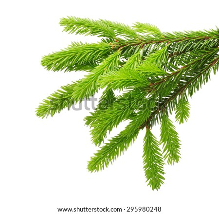 Pine tree branch isolated on white - stock photo