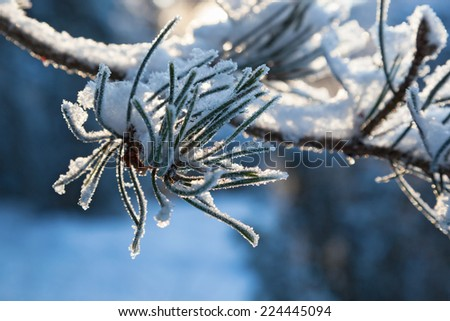 Pine tree branch with snow - stock photo