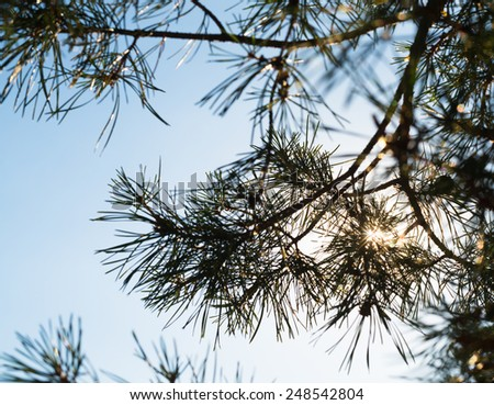 Pine tree branches against the blue sky with the shining sun - stock photo