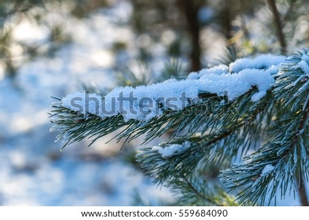 Pine tree branches in winter. Fir with hoarfrost, natural tree.