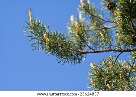 pine tree branches with pine cones on a blue sky background
