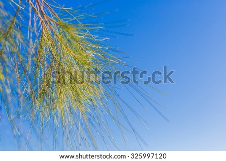 Pine tree bunch close up