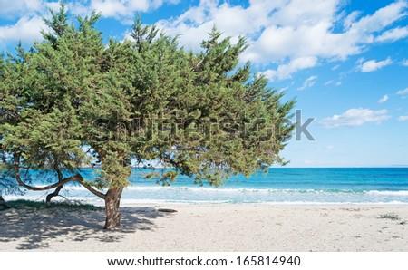 pine tree by Stintino sea - stock photo