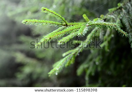 pine tree close-up - stock photo