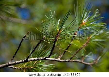 Leaf Pine Tree Pine Tree Close up Stock