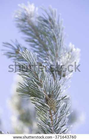 Pine tree close up