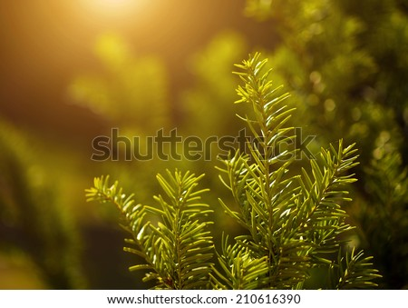 Pine tree closeup - stock photo