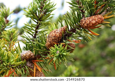 Pine tree closeup with cones - stock photo
