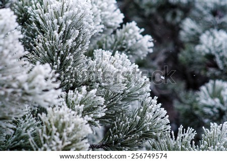 Pine tree covered with snow. - stock photo
