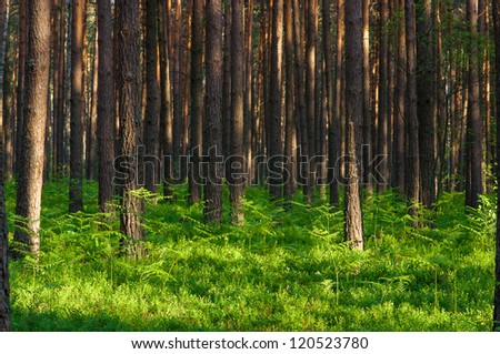 Pine tree forest and ferns - stock photo