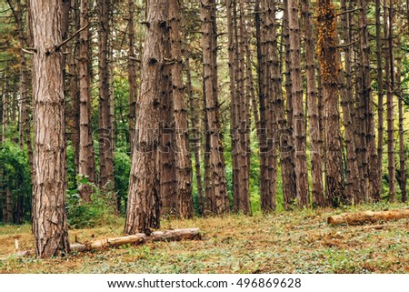 Pine tree forest in autumn october afternoon, tall vertical woods as beautiful nature scenery background