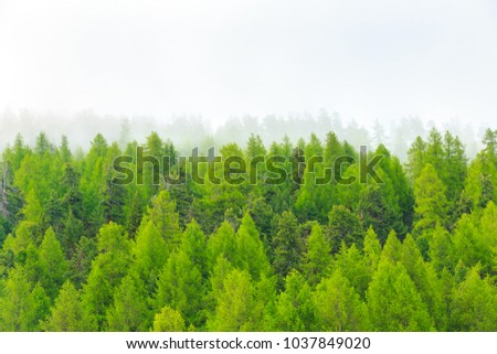 Pine tree forest in mist fog.