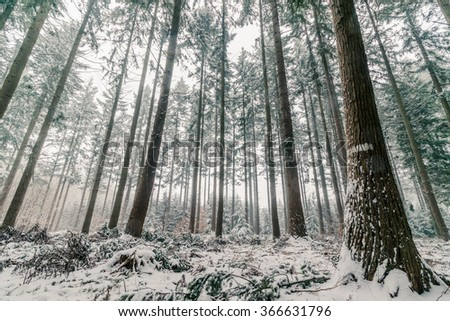Pine tree forest in Scandinavia in the winter