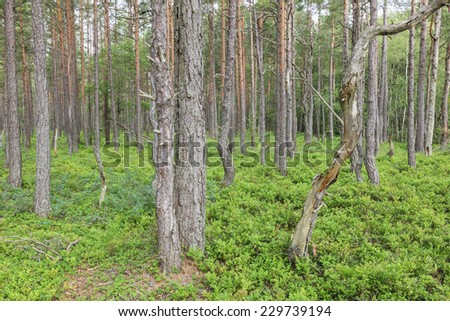 Pine tree forest on a bog