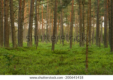 Pine tree forest. Thin tree on the right in focus.