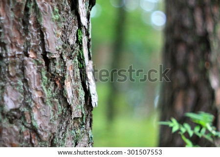 Pine tree forest with bokeh