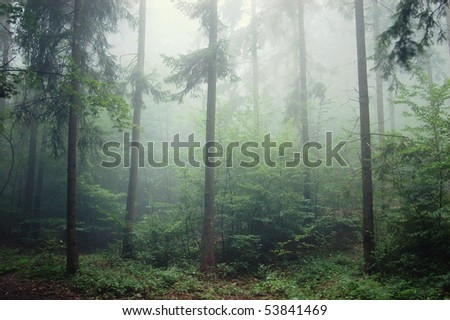 pine-tree forest with fog - stock photo