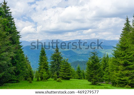Pine Tree Forrest in the Montains, Romania