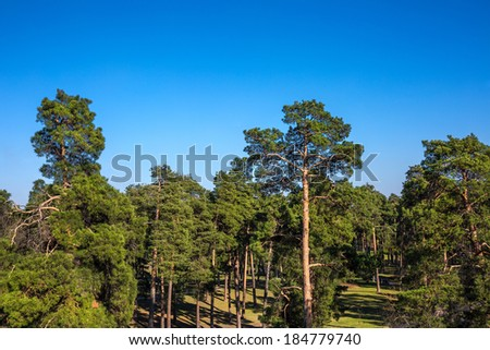 pine tree grove in the park on a spring evening in the sun - stock photo