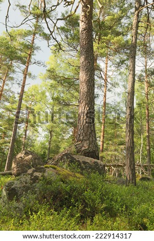 Pine tree in Scandinavian forest