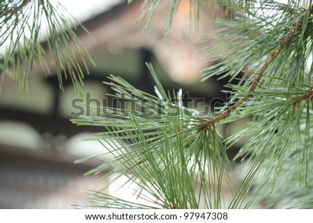 Pine tree in temple in Japan - stock photo