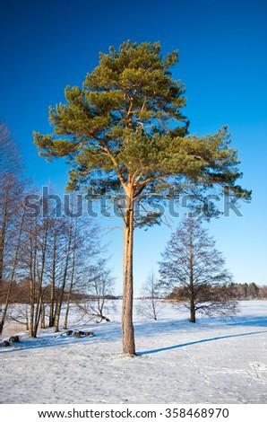 Pine tree in winter - stock photo
